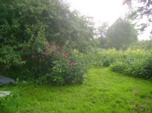 View from the barn of apple tree, peas and roses